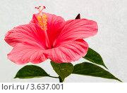 Купить «Розовый цветок гибискуса», фото № 3637001, снято 1 июля 2012 г. (c) Екатерина Овсянникова / Фотобанк Лори