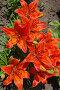 Оранжевые лилии, фото № 3639845, снято 27 мая 2012 г. (c) Елена Гордеева / Фотобанк Лори