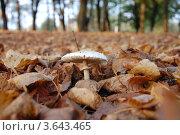 Гриб в листьях. Стоковое фото, фотограф Андрей Дюжечкин / Фотобанк Лори