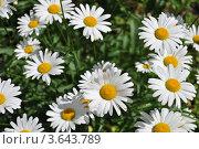 Купить «Белые ромашки в саду», эксклюзивное фото № 3643789, снято 27 июня 2012 г. (c) lana1501 / Фотобанк Лори