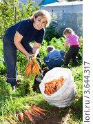 Купить «Женщина с детьми собирает морковь на огороде», фото № 3644317, снято 5 сентября 2011 г. (c) Кекяляйнен Андрей / Фотобанк Лори