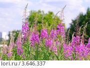 Купить «Кипрей, Иван-чай (Epilobium angustifolium)», эксклюзивное фото № 3646337, снято 25 июня 2012 г. (c) Алёшина Оксана / Фотобанк Лори