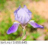 Купить «Ирис, или Касатик (Iris)», эксклюзивное фото № 3650645, снято 19 июня 2012 г. (c) Алёшина Оксана / Фотобанк Лори
