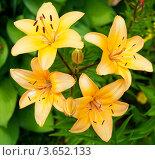 Купить «Желтые лилии», фото № 3652133, снято 7 июля 2012 г. (c) Екатерина Овсянникова / Фотобанк Лори