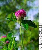 Клевер сочный в цвету. Стоковое фото, фотограф Денис Антонов / Фотобанк Лори