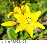 Купить «Желтые лилии», фото № 3653461, снято 8 июля 2012 г. (c) Екатерина Овсянникова / Фотобанк Лори