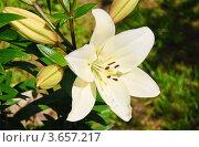 Купить «Лилия белая», эксклюзивное фото № 3657217, снято 20 июня 2012 г. (c) Алёшина Оксана / Фотобанк Лори