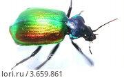 Купить «Большой зеленый жук бежит на белом фоне, замедленное воспроизведение», видеоролик № 3659861, снято 6 июля 2012 г. (c) Михаил Коханчиков / Фотобанк Лори