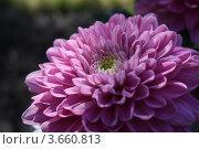 Хризантема. Стоковое фото, фотограф Яблонских Татьяна / Фотобанк Лори