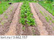Купить «Грядки с овощами на приусадебном участке», эксклюзивное фото № 3662157, снято 23 июня 2012 г. (c) Алёшина Оксана / Фотобанк Лори