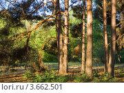 Купить «В сосновом лесу», фото № 3662501, снято 30 апреля 2012 г. (c) Борис Панасюк / Фотобанк Лори