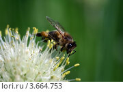 Пчела. Стоковое фото, фотограф Марат Сафаров / Фотобанк Лори
