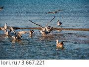 Чайки в воде. Стоковое фото, фотограф Алексей Литягов / Фотобанк Лори