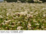 Цветок гречихи. Стоковое фото, фотограф Алексей Сахаров / Фотобанк Лори