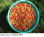 Купить «Ведро полное ягод морошки», фото № 3669481, снято 14 июля 2012 г. (c) Валерий Егоров / Фотобанк Лори