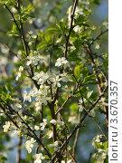 Купить «Слива цветет», эксклюзивное фото № 3670357, снято 7 мая 2012 г. (c) Щеголева Ольга / Фотобанк Лори