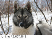 Купить «Лайка на фоне зимней природы», фото № 3674849, снято 10 марта 2006 г. (c) Наталья Спиридонова / Фотобанк Лори