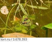 Купить «Пчёлы сидят на прудовой лягушке (Rana esculenta)», эксклюзивное фото № 3678393, снято 22 июня 2012 г. (c) Алёшина Оксана / Фотобанк Лори