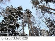 Верхушки деревьев. Стоковое фото, фотограф Юлия Науменко / Фотобанк Лори