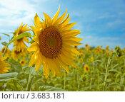 Подсолнухи на поле. Стоковое фото, фотограф Лариса Кривошапка / Фотобанк Лори