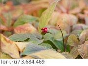 Купить «Женьшень ( Panax trifolium ) на плантации. Плоды», фото № 3684469, снято 8 октября 2011 г. (c) Ольга Липунова / Фотобанк Лори