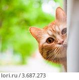 Купить «Рыжий кот выглядывает из-за угла», эксклюзивное фото № 3687273, снято 11 июня 2012 г. (c) Игорь Низов / Фотобанк Лори