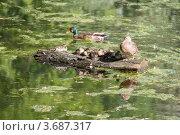 Утиная семья. Стоковое фото, фотограф Алексей Судариков / Фотобанк Лори