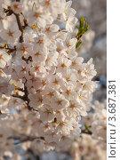 Купить «Белая японская сакура ( Prunus serrulata ) цветет весной», фото № 3687381, снято 14 апреля 2011 г. (c) Ольга Липунова / Фотобанк Лори