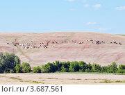 Купить «Коровы и лошади пасущиеся на склоне холма», фото № 3687561, снято 26 июня 2012 г. (c) Вадим Орлов / Фотобанк Лори