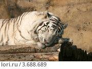 Купить «Спящий на бревенчатом помосте Бенгальский белый тигр (Panthera tigris tigris, var. Alba)», эксклюзивное фото № 3688689, снято 24 марта 2012 г. (c) Щеголева Ольга / Фотобанк Лори
