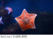 Купить «Красная пятиконечная морская звезда на стене аквариума на фоне темно-синей воды (Патирия гребешковая, Patiria pectinifera)», эксклюзивное фото № 3688809, снято 24 марта 2012 г. (c) Щеголева Ольга / Фотобанк Лори
