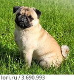 Купить «Собака породы Мопс», фото № 3690993, снято 1 июня 2012 г. (c) ElenArt / Фотобанк Лори