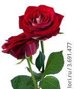 Купить «Две красные розы на белом фоне», фото № 3691477, снято 20 мая 2019 г. (c) Marina Appel / Фотобанк Лори