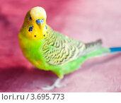 Купить «Зелёный волнистый попугай на розовом фоне», эксклюзивное фото № 3695773, снято 8 июля 2012 г. (c) Игорь Низов / Фотобанк Лори