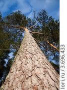 Высокая сосна. Стоковое фото, фотограф Мария Семечкова / Фотобанк Лори