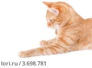 Рыжий кот лежит на белом фоне. Стоковое фото, фотограф Александр Тесевич / Фотобанк Лори