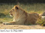 Львица, отдыхающая на поляне. Стоковое фото, фотограф Юрий Васильев / Фотобанк Лори