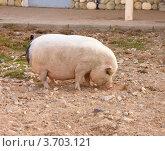 Откормленная свинья на подворье. Стоковое фото, фотограф Константин Примачук / Фотобанк Лори