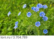 Цветы льна. Стоковое фото, фотограф Анастасия Филиппова / Фотобанк Лори