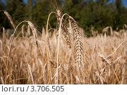 Ржаное поле. Стоковое фото, фотограф Мария Семечкова / Фотобанк Лори