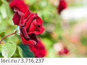Красная роза. Стоковое фото, фотограф Евгения Фурсова / Фотобанк Лори