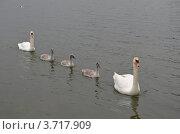 Купить «Лебеди», фото № 3717909, снято 28 июня 2012 г. (c) Андрей Паршаков / Фотобанк Лори