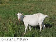 Купить «Коза пасется на лугу», фото № 3719977, снято 4 августа 2012 г. (c) Сычёва Татьяна / Фотобанк Лори