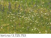 Купить «Полевые цветы. Курорта «Архыз». КЧР», эксклюзивное фото № 3725753, снято 14 июля 2012 г. (c) Rekacy / Фотобанк Лори