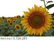 Подсолнух на поле. Стоковое фото, фотограф Юлия Науменко / Фотобанк Лори