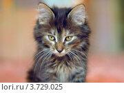 Серая кошка, крупный план. Стоковое фото, фотограф Александр Довянский / Фотобанк Лори