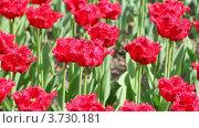 Купить «Красные тюльпаны на клумбе», видеоролик № 3730181, снято 14 марта 2011 г. (c) Losevsky Pavel / Фотобанк Лори