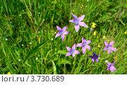 Луговые цветы в горах. Стоковое фото, фотограф Артур Худолий / Фотобанк Лори