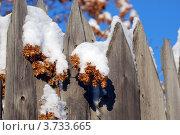 Купить «Шишки хмеля на заборе», фото № 3733665, снято 17 января 2008 г. (c) Анна Омельченко / Фотобанк Лори