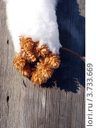 Купить «Шишки хмеля на заборе», фото № 3733669, снято 17 января 2008 г. (c) Анна Омельченко / Фотобанк Лори